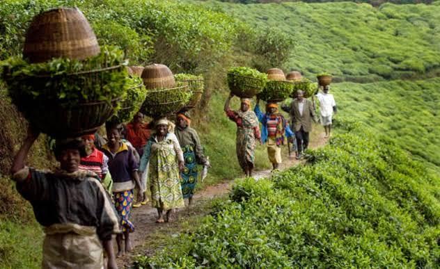 الزراعة في إفريقيا