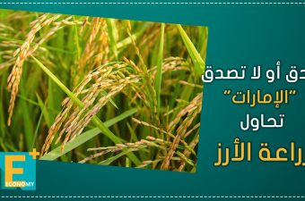 """صدق أو لا تصدق """"الإمارات"""" تحاول زراعة الأرز"""